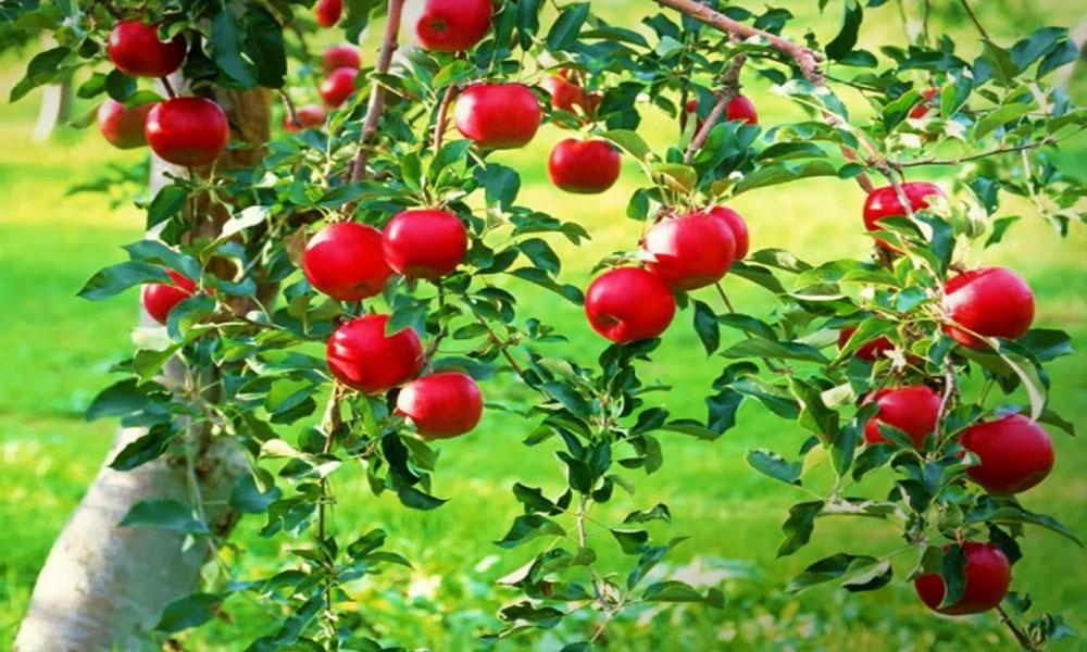 Elfeledett gyümölcsfajtákat is láthatsz az érdi gyümölcs génbankban