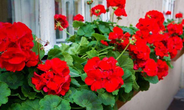 Bandi bá muskátlis trükkje: ettől ontja majd a virágokat a muskátlid