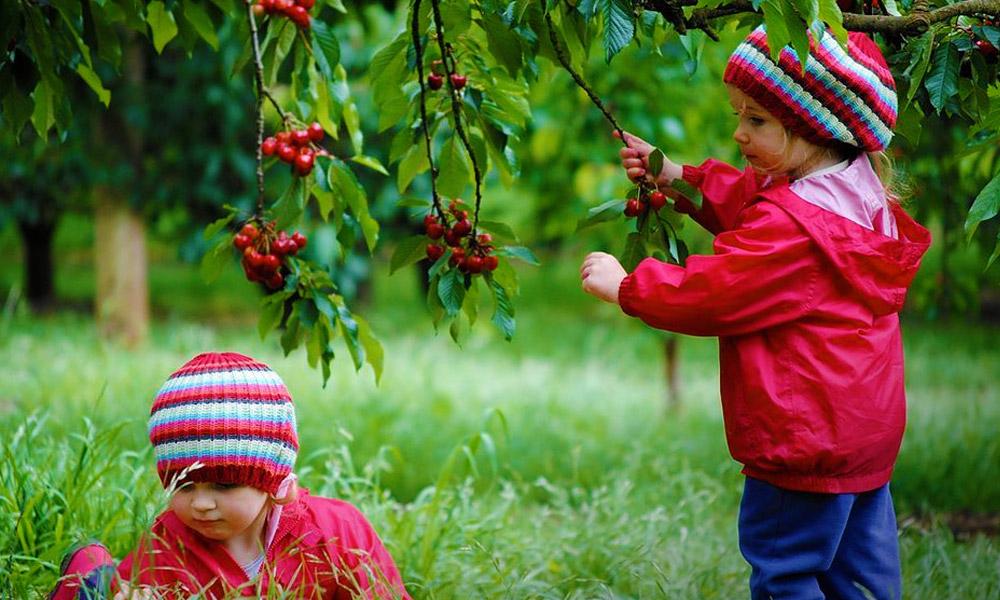 Budapest környéke az ország cseresznyéskertje, itt találsz finom cserit!