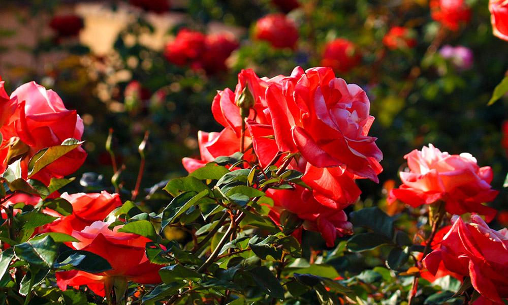 Meglepő! A rózsa az eper közeli rokona