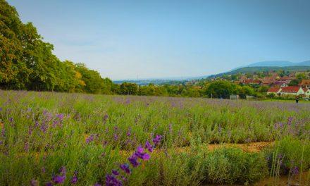 Illatos levendulamező és gyönyörű virágok Pilisborosjenőn, éld át a varázslatot!