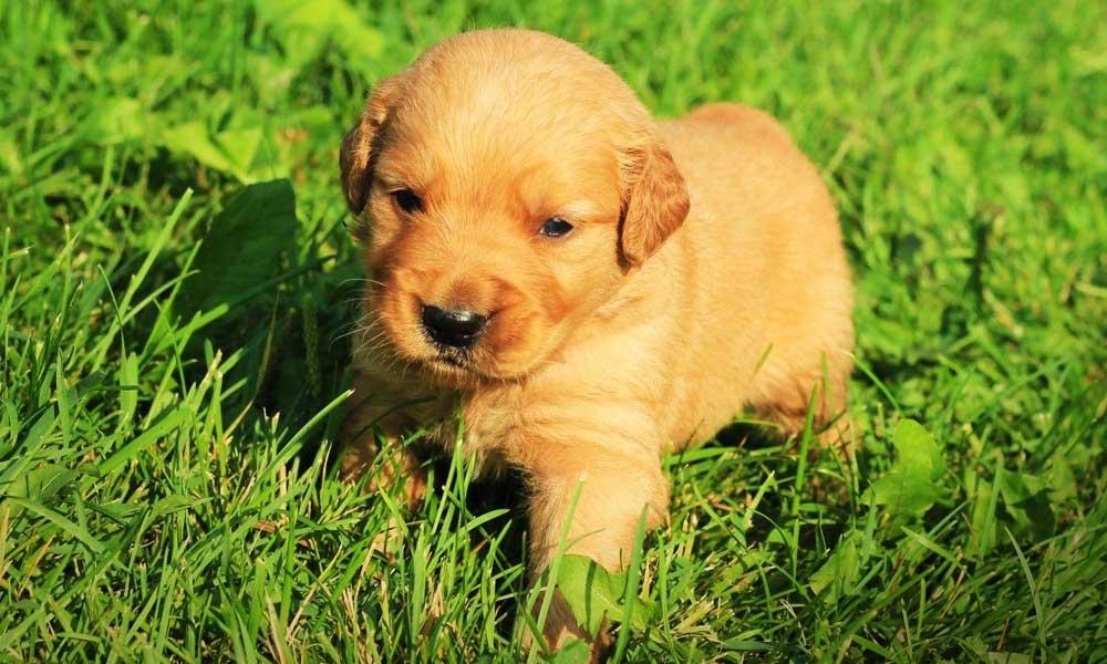 Kutyatulajdonosok figyelem! Az ELTE kutatói meglepő dolgot vettek észre a kiskutyáknál