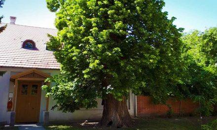 Nem Nagykovácsi fája lett az Év Fája, de akkor melyik nyert?