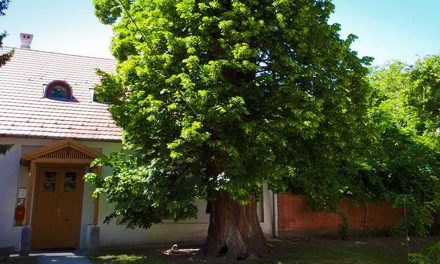Egy agglomerációs hársfa is versenyben van az Év Fája címért, szavazzatok rá ti is!