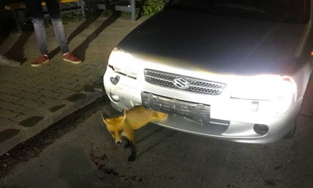 Beszorult a róka a Suzukiba, a rendőrök szabadították ki