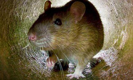 Sok patkányra panaszkodnak Diósdon, most 70 ezer négyzetméteren irtanak