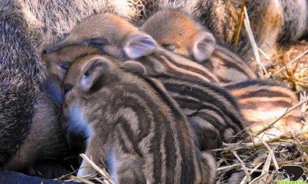 Aranyos kis csíkos vadmalacok születtek a Budakeszi Vadasprakban