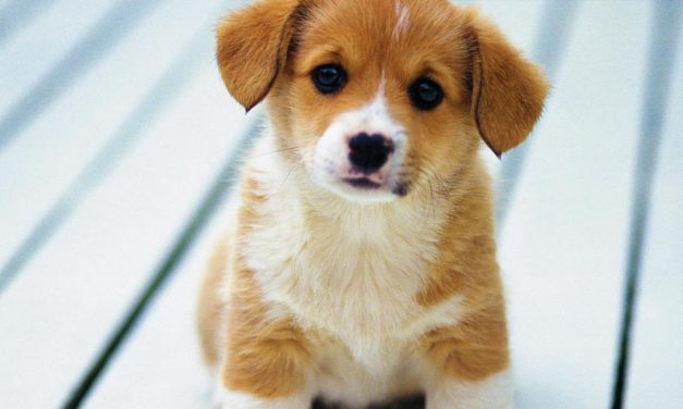 Meglepő eredményre jutottak a kutyák öregedését vizsgáló magyar kutatók