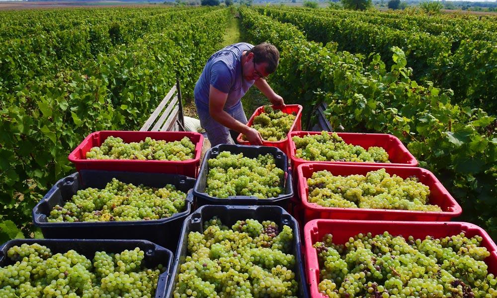 Az Európai Bizottság is felfigyelt a monori borra, indul a nagy üzlet!