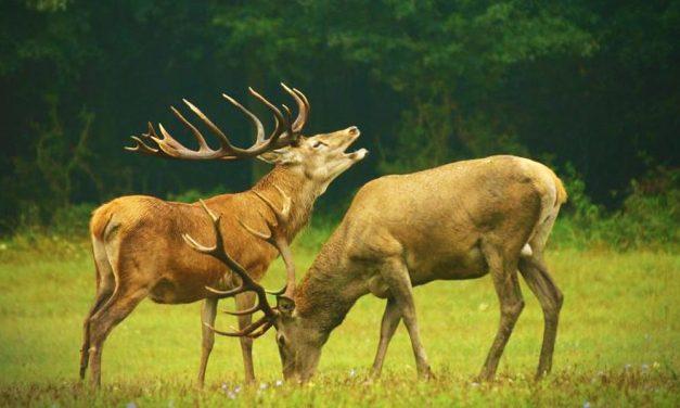 Harcias szarvasok bőgését hallhatod a Pilisben