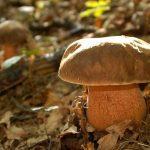 Két kiló vargányát szedhetsz most ingyen az állami erdőkben