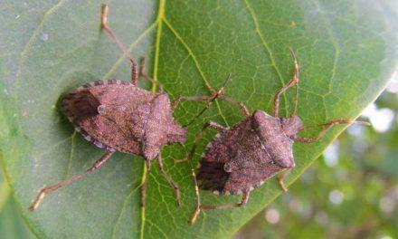 Poloskainvázió az agglomerációban, mindenkit idegesítenek a büdös rovarok
