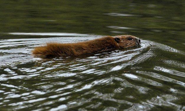 Mérgezés áldozata lehetett a Sződligetnél megmentett dunai hód