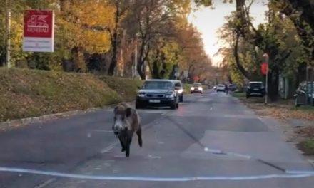Rohanó vaddisznó az utcán, egyre beljebb merészkednek a vadak a fővárosba – Videó
