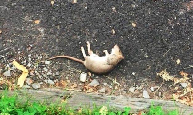 Patkányok miatt fokozott figyelmet kér a gyömrői polgármester