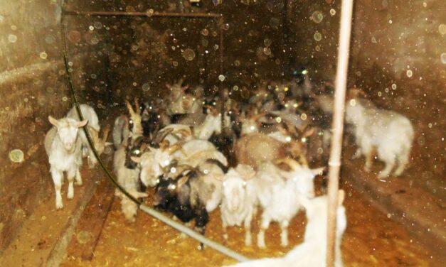 Undorító állatkínzás és elszaporodó patkányok – elege lett az érdi polgármesternek és akciót indított