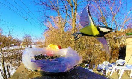 Szépségükkel és jelenlétükkel hálálják meg az etetést télen a madarak