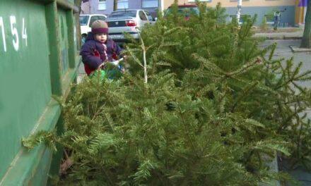 Hétvégén karácsonyfabontás lesz, több százezer fenyőfát szállítanak el