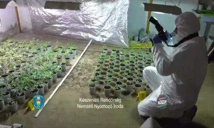 Cannabis ültetvényt találtak Tahitótfaluban, rengeteg füves cigi készült volna belőle