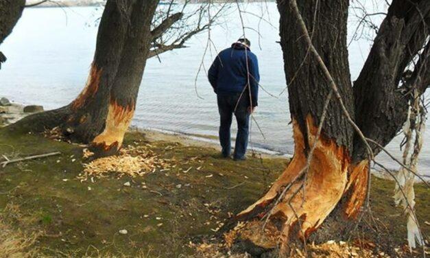 Csúnyán nekimentek a Duna-parti fáknak a hódok