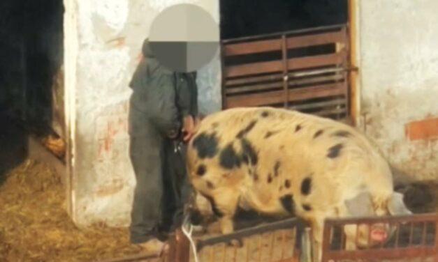 Disznóval fajtalankodhatott egy férfi Dunaharasztiban (18+)