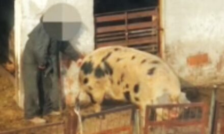 A kecskéit is kergette! Megszólalt a disznót molesztáló férfit levideózó családanya