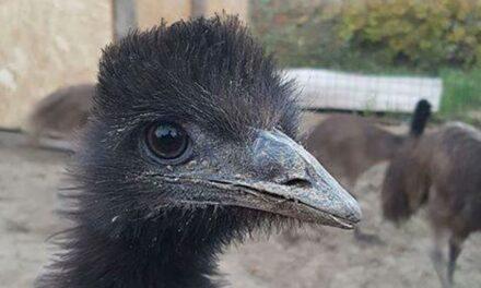 Szökött emut keresnek a budai agglomerációban