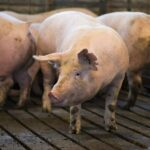 Sertéspestis: a gazdák vagy betartják a szabályokat, vagy kilövik a teljes állományukat