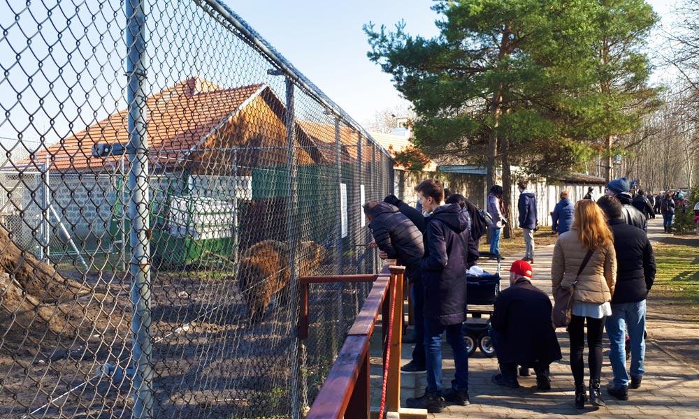 Kiszabadult az oroszlán a Veresegyházi Medveotthonban, most szerződést bontottak az üzemeltetővel