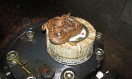 Félméteres kígyókat találtak egy vízóra aknában az agglomerációban