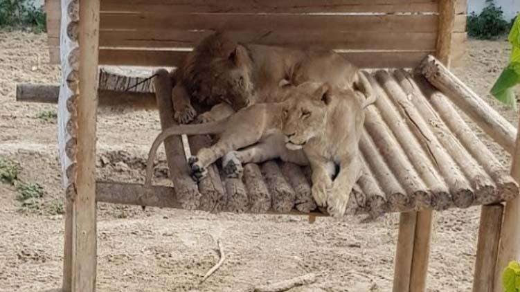 Illegálisan tartott oroszlánok Érden, csak nehogy elszabaduljanak!