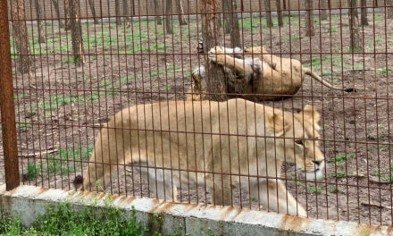 """""""Nagyon kemény! Kiszökött az egyik oroszlán"""" – kiszivárgott a Veresegyházán meglépett oroszlánról készült videó"""