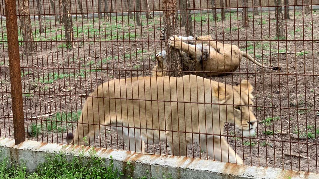 Halálos altató várhat az illegálisan tartott érdi oroszlánokra