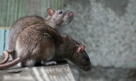 Óriási patkányok lepték el az egyik lakóparkot, bicikliző gyerekeket kergetnek a megtermett rágcsálók az utcán