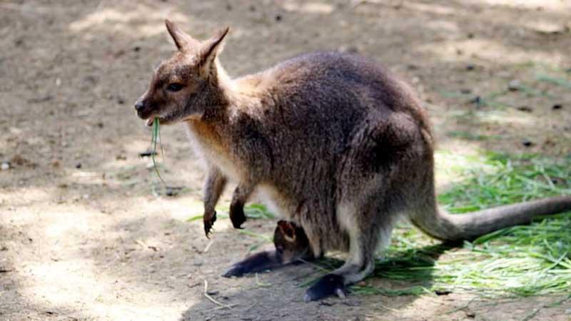 Elveszett két kenguru egy budapesti szállodából
