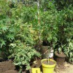 Medencében és faházban termesztették a kábítószer alapanyagot