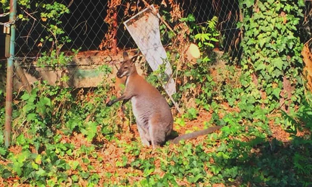 Egy kengurut üldöznek Diósdon, megszökött egy kertből