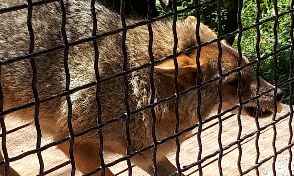 Sakálok Budapest környékén: egyre több problémát okoznak ezek a vadállatok