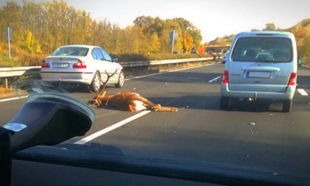 Durva baleset! Óriási szarvas okozott balesetet az autópályán
