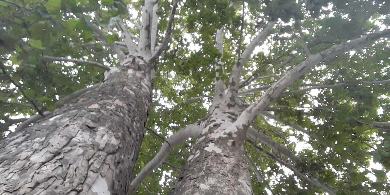 Áder Jánoshoz fordultak egy fa miatt az agglomerációban