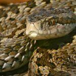 Mérgeskígyókat engednek szabadon az agglomerációban