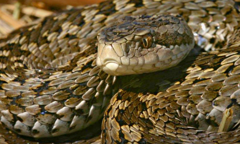 Mérgeskígyókat engednek szabadon