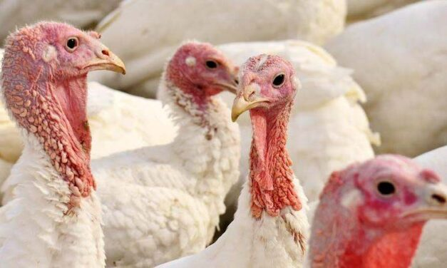 Itt a madárinfluenza: mától csak zárt helyen lehet baromfit tartani