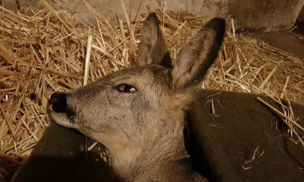 Saját házában ápolja a csömöri állatorvos a bajba jutott őzikét