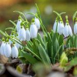 Brutális bírság, sőt börtönbüntetés járhat néhány szál hóvirágért
