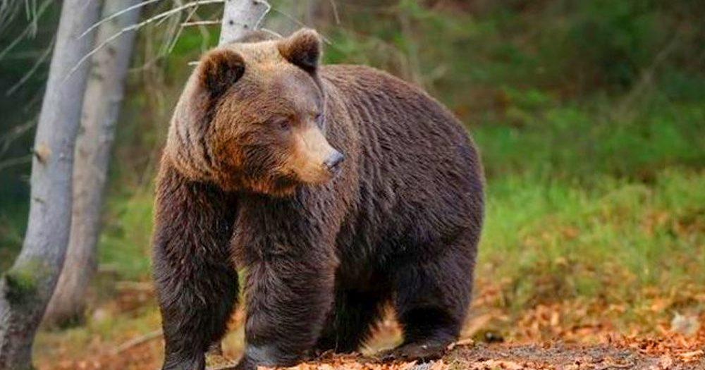 Veszélyes barnamedvét láttak Vác közelében az erdőben