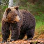Medvét láttak a Normafánál, a szakemberek már keresik az állatot