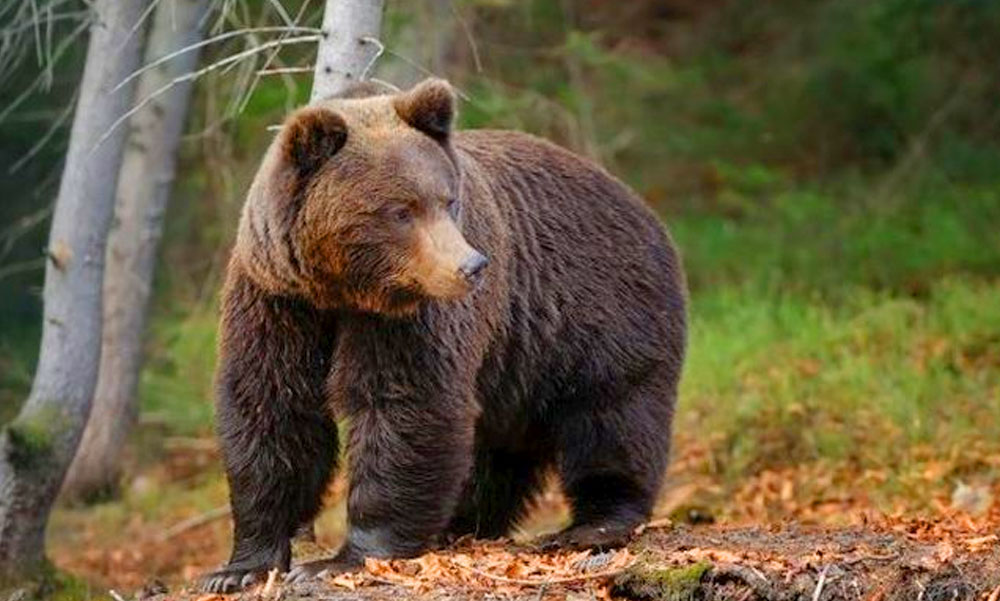 Veszélyes az erdő! Medvék miatt riasztást adott ki egy polgármester Budapesttől mindössze 70 km-re