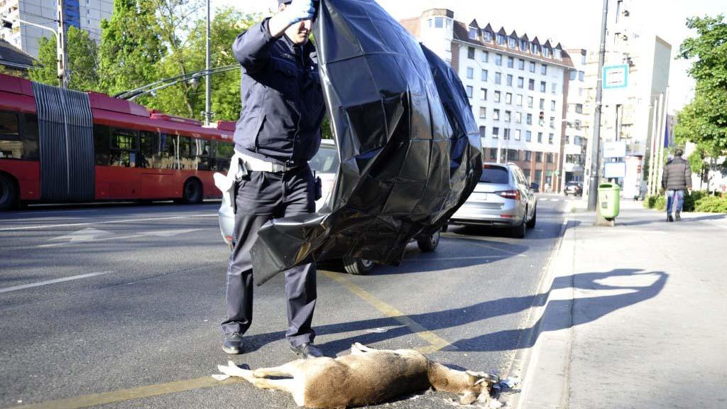 Őzet gázolt egy autó Józsefvárosban