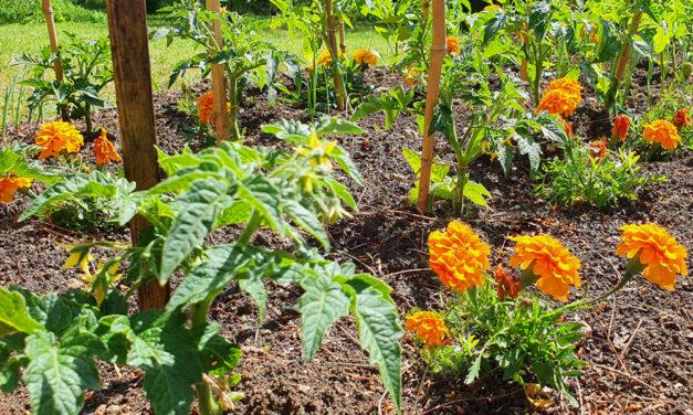 Okos palántázás egymást segítő növényekkel: mit hová ültessünk a kertben?